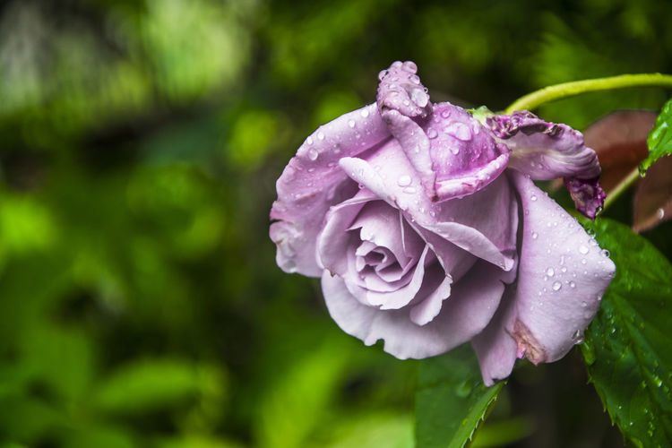 Close-Up Of Wet Fresh Purple Rose