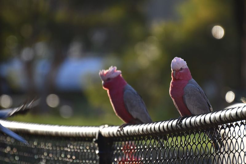Galahs EyeEm Selects Vertebrate Bird Animal Animal Themes Animal Wildlife Animals In The Wild Fence Outdoors Nature Metal Boundary Barrier Close-up Zoology No People Two Animals Day Perching Group Of Animals Focus On Foreground