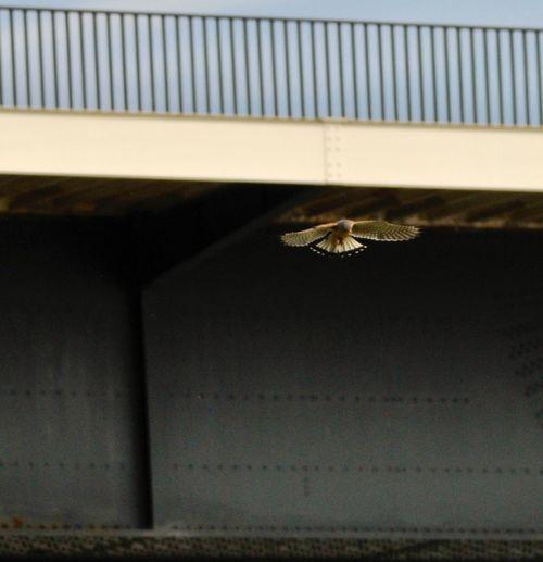 Falcon. Bridge. 3629466