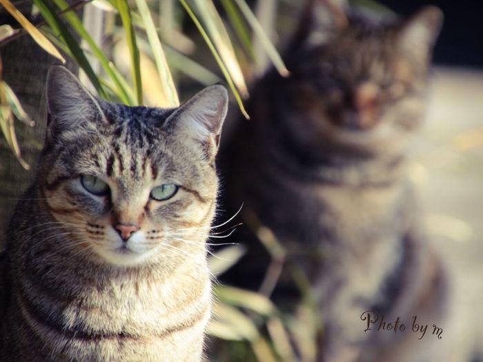 Cat Stray Cat 野良猫 Cat♡ 猫 Cat Lovers キジトラ 後ろボケ Animal Playing With The Animals