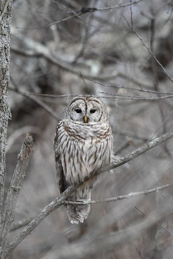 Barred Owl Nature Photography Bird Photography Owl Photography Love Of Nature Forest Life Natures Beauty Life In The Forest Awesome Nature Shot Beautiful Nature Birds Life Birds World Nikonphotography Owl Bird Perching Bird Of Prey Portrait Close-up My Best Photo
