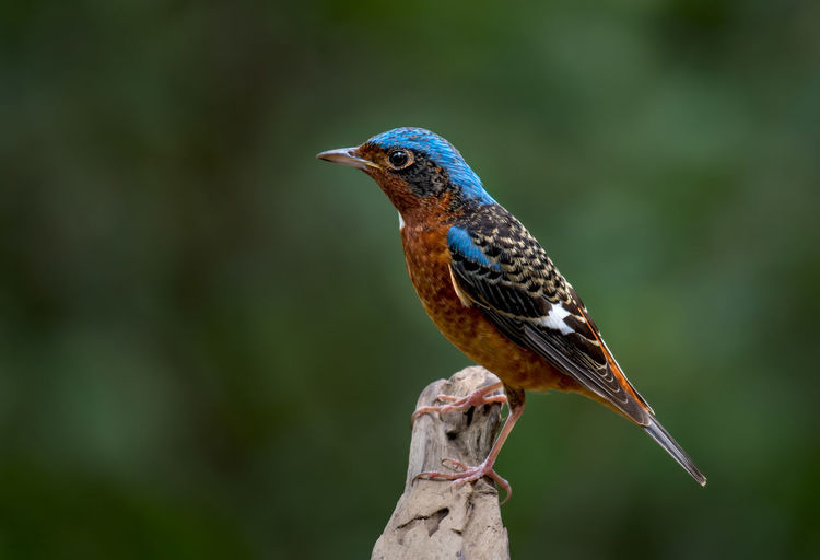 White-throated Rockthrush male on branch in nature. Animal Themes Animal Wildlife Animals In The Wild Animal One Animal Vertebrate Bird Perching Focus On Foreground No People Close-up Day Nature Branch Kingfisher Tree Plant Beauty In Nature Looking Outdoors Profile View