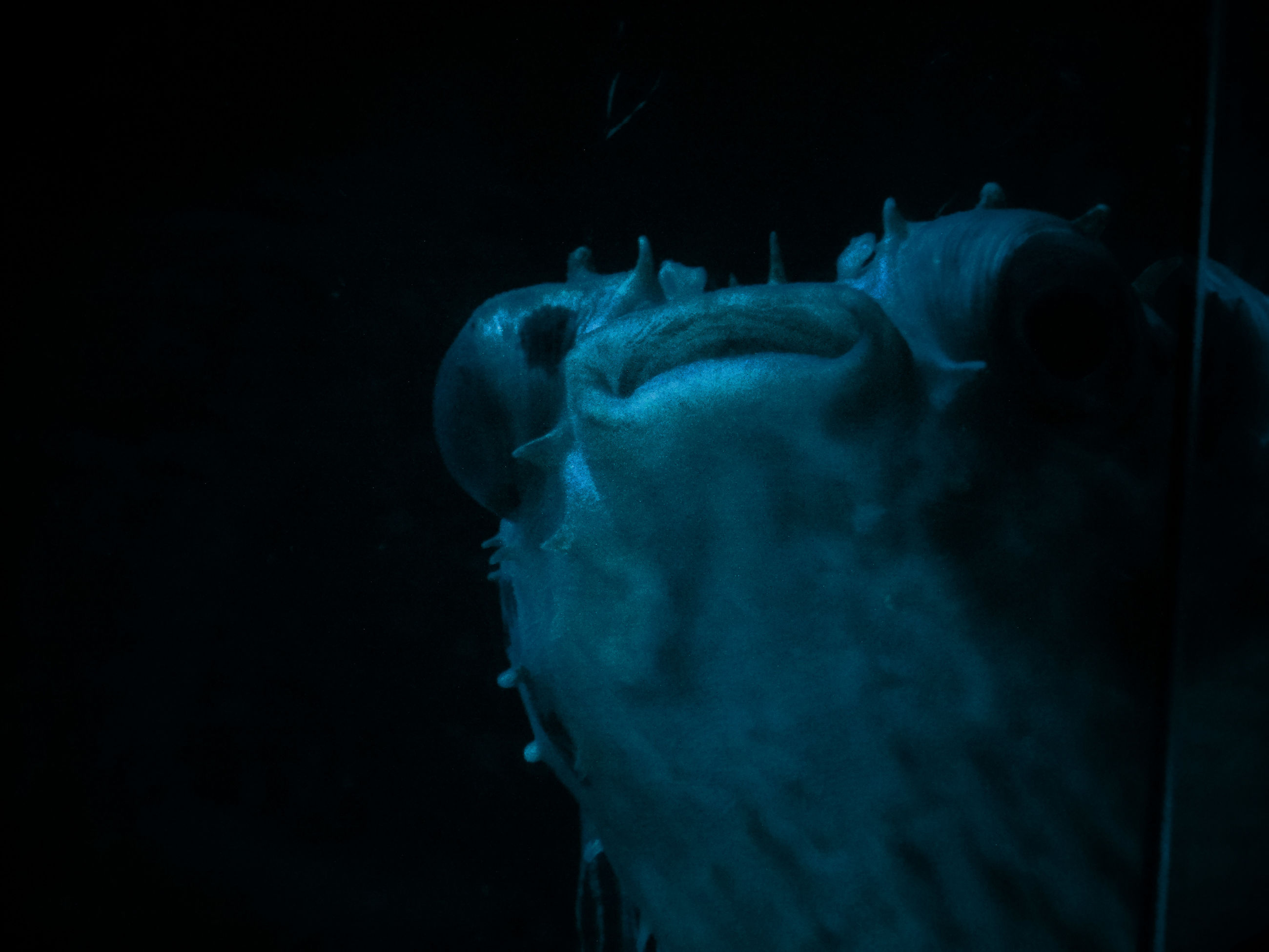 mammal, black background, close-up, blue, animal head, no people, animal body part, nature, dark, beauty in nature