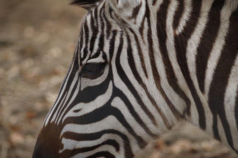 Animal Striped Zebra Mammal One Animal No People Close-up Animal Body Part Animal Markings Camouflage Nature Natural Pattern Outdoors Animal Head
