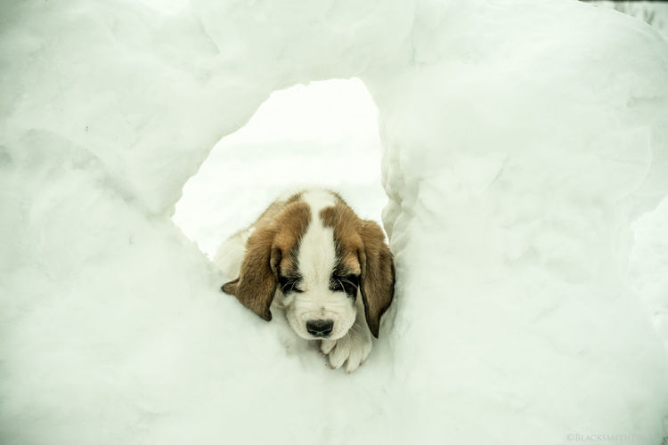Oscar. Saintbernard Dog (null)Sherbrooke