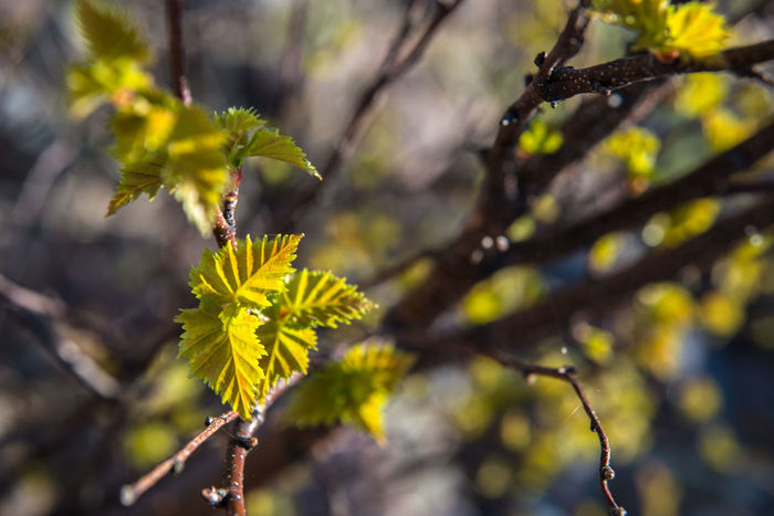 Beauty In Nature Birch Branch Buds Built Structure Close-up Day Early Spring Focus On Foreground Forest Growth Nature No People Outdoors Plant Spring Springtime Twig Yellow Young Leaves