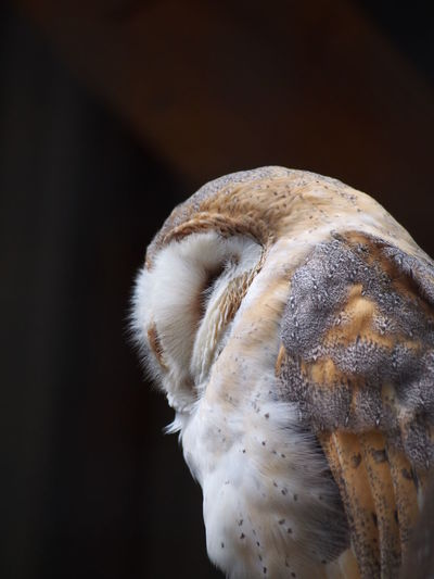Close-Up Of A Barn Owl