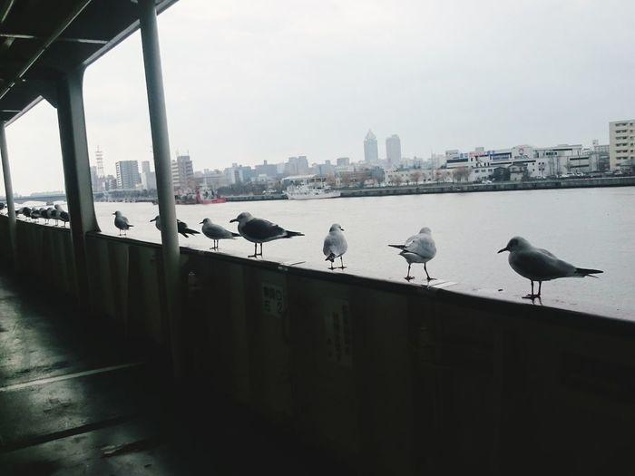 Japan Seagulls