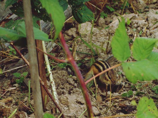 nature Animal Chipmunk