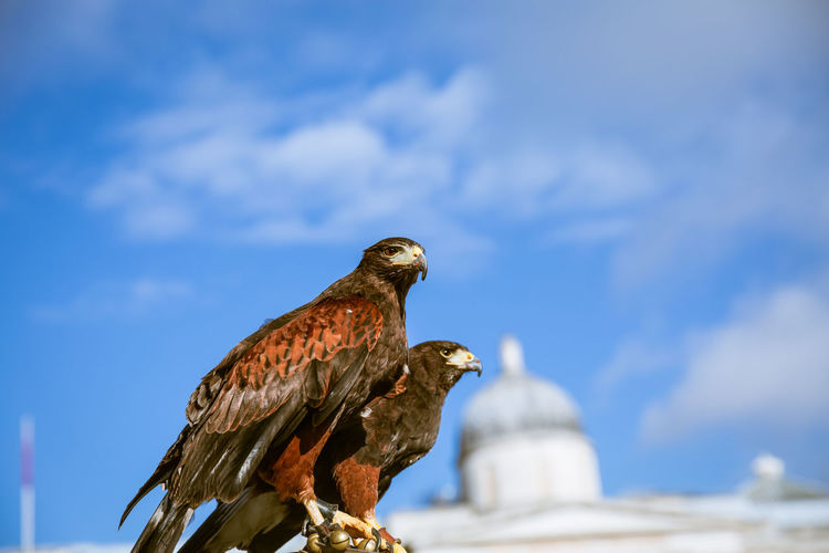 two eagles perched in London Day Natural Light Bird Animal Themes Animal Animal Wildlife Bird Of Prey Eagle No People Outdoors London Europe Wildlife Blue Sky Urban Animals Perching Side View Cloud - Sky