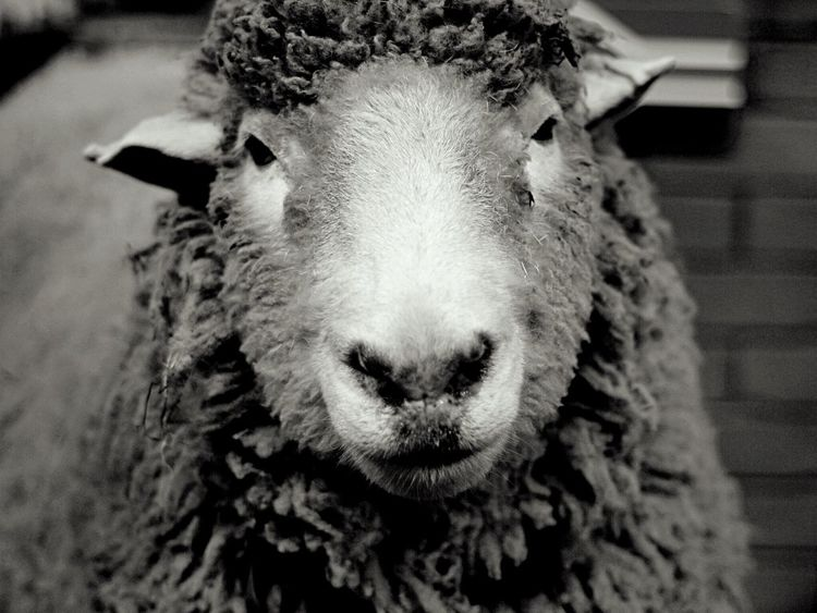 Sheep Madam
