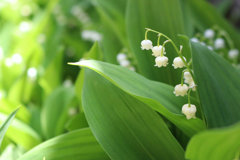Leaf Nature Green Color Plant Close-up Outdoors Day Growth No People Beauty In Nature Flower Fragility Freshness お写ん歩 お散歩 カメラ女子 鈴蘭 すずらん Flower
