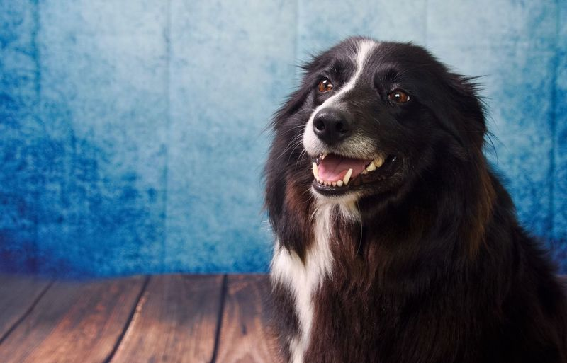 Close-up of border collie against blue wall