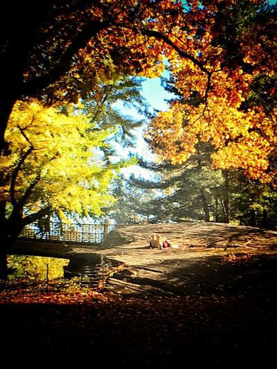 Soaking in the rays.. Tree Autumn Change Leaf Nature Beauty In Nature Outdoors Scenics Tranquility Sunlight Park Soak Rays Central Park Love Day EnjoytheNewNormal