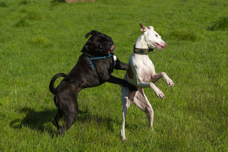 Playful dogs on grassy field