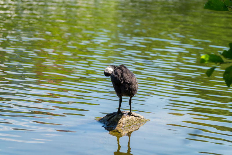 A young Coot stands on a Stone in the Water Animals In The Wild Baby Animals Background Beauty In Nature Capture The Moment Coot Exceptional Photographs Lake Lovely Nature One Animal Standing Stone Water Wildlife Yellow Young Adult Young Women Birds Water Bird