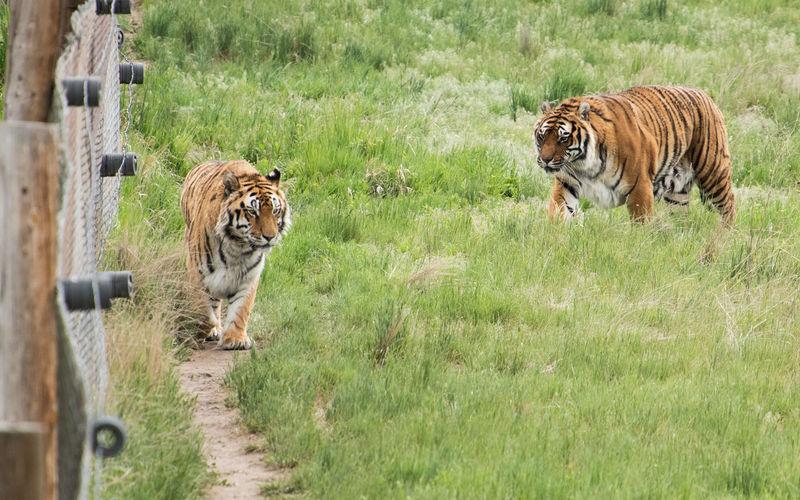 Animal Animal Themes Animal Wildlife Big Cat Feline Group Of Animals Mammal No People Tiger Two Animals Undomesticated Cat