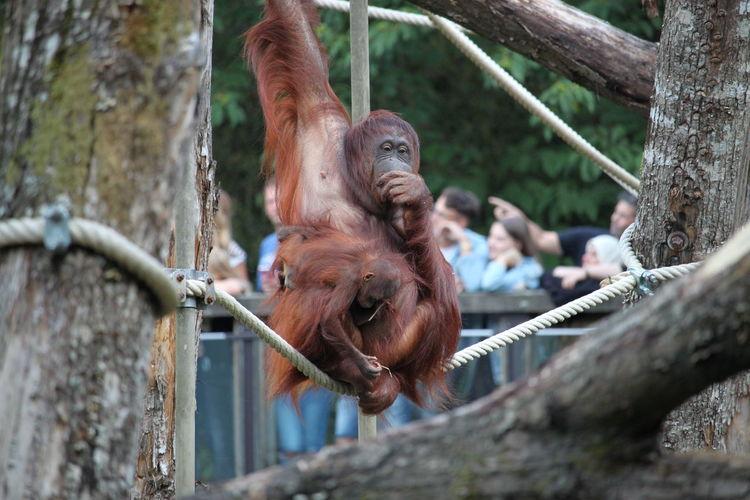Orang - utan hanging on tree in zoo