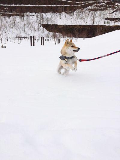 まだまだ雪がたっぷり(T ^ T) 柴犬 柴犬の柴田 Shiba Inu Sibainu Dog