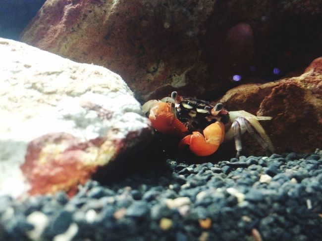 Tiny Crab Cute Swimming Exploring Nature FAB