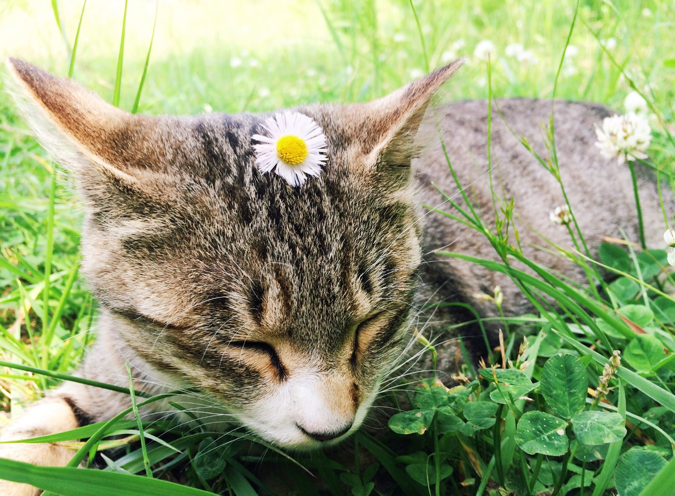 animal themes, one animal, mammal, domestic cat, feline, domestic animals, cat, whisker, pets, flower, plant, close-up, grass, growth, relaxation, focus on foreground, nature, field, lying down, resting