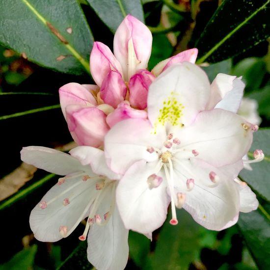 Mountain Laurels Mountain Hiking Pink Pink Flower