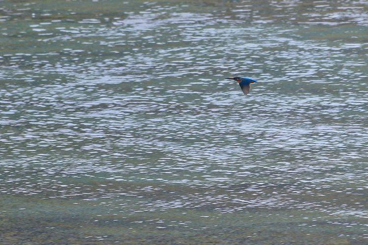 カワセミ Bird River Riverside EyeEm Nature Lover EyeEm Best Shots Animal EOS7DMarkII 70-300mm Telephoto Zoom Lens Kingfisher Water Waterfront