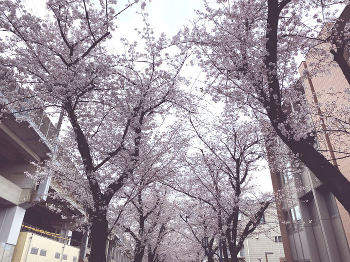 Low angle view of cherry tree by building against sky