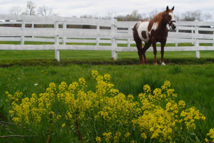 Horse in farmland. Animal Corral Day Farm Life Farmanimals Farmland Farmlandscape Fence Horse Mammal Nature No People Outdoors Yellow Flowers