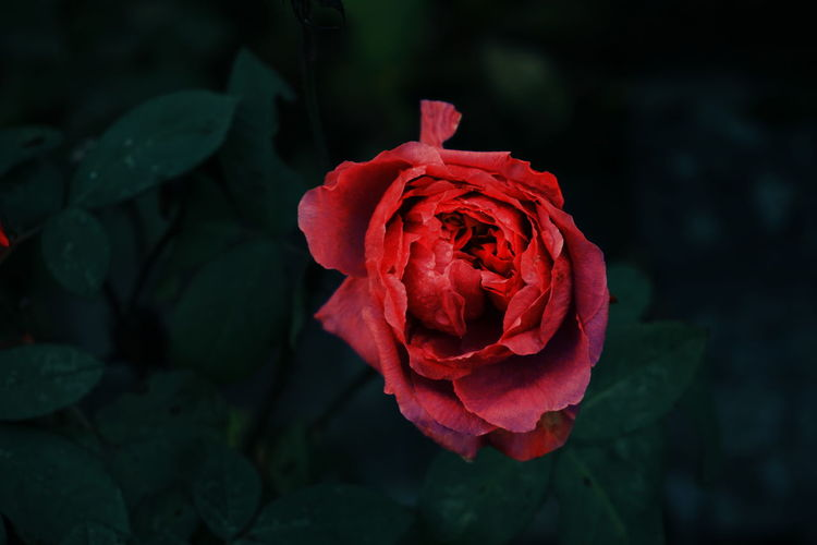 the last rose in the garden Flower Rose - Flower Flower Head Petal Nature Red Plant Fragility Leaf Beauty In Nature Close-up No People Rose Petals Peony  Springtime Growth Fashion Show Outdoors Freshness Day Roses Rosé Roses🌹 Red Red Rose Perspectives On Nature