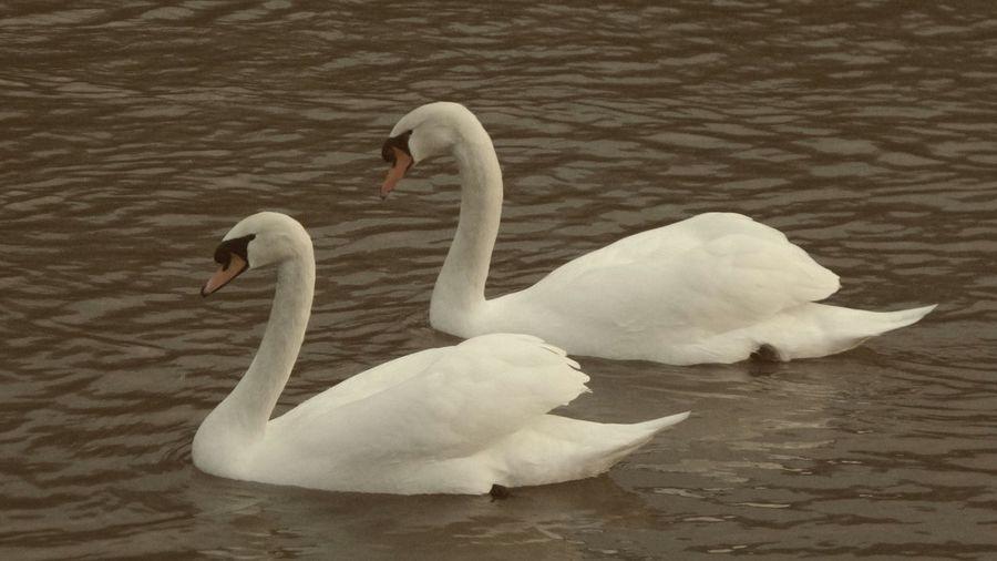 Swan in calm water