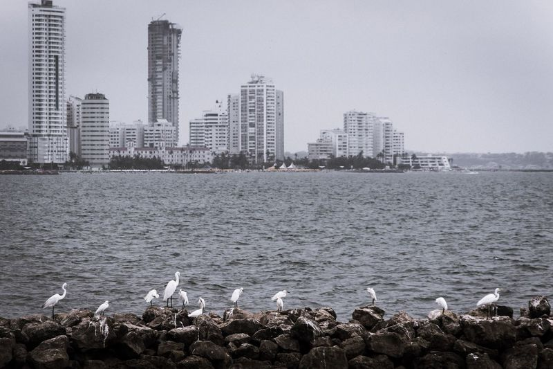 Bird Animals In The Wild Skyscraper Animal Themes Water Sea Architecture Building Exterior Seagull City Built Structure Animal Wildlife Large Group Of Animals No People Water Bird Cityscape Outdoors Day Urban Skyline Sea Bird Travel Destinations Cartagena Colombia ♥  Colombia Photooftheday