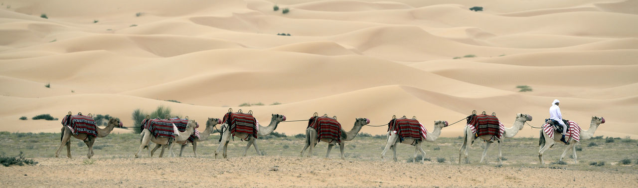 Camel Train In Desert