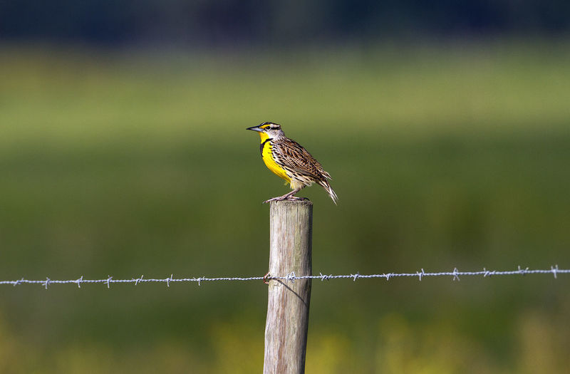 Sturnella Magna Western Meadowlark Animal Themes Animal Wildlife Animals In The Wild Bird Close-up Florida Life Nature