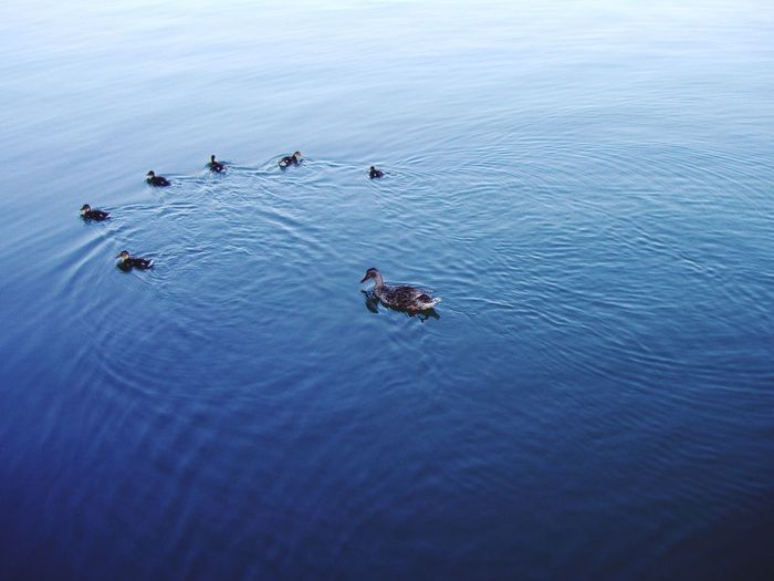 High Angle View Of Duck With Ducklings Swimming On Lake