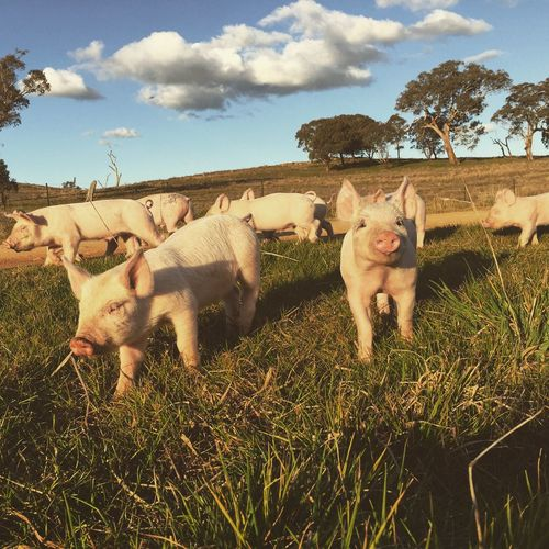 Pigs on grassy field against cloudy sky