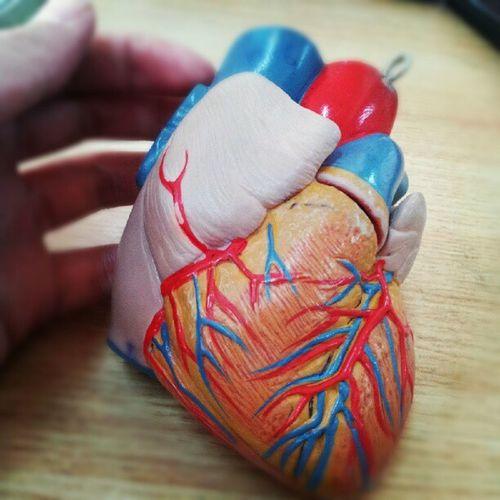 Heart Anatomism Lesson Anatomy littleheart