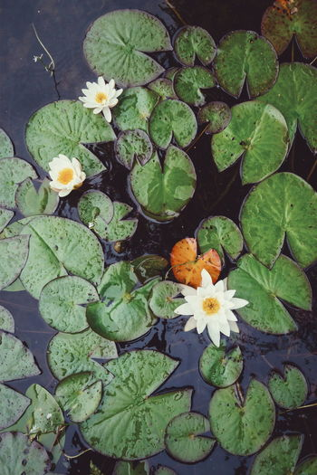 White water lily lilies in Sweden Sweden Water Reflections Nature Flower Flowers Water Water Lily Waterlily Lake Taken From Above