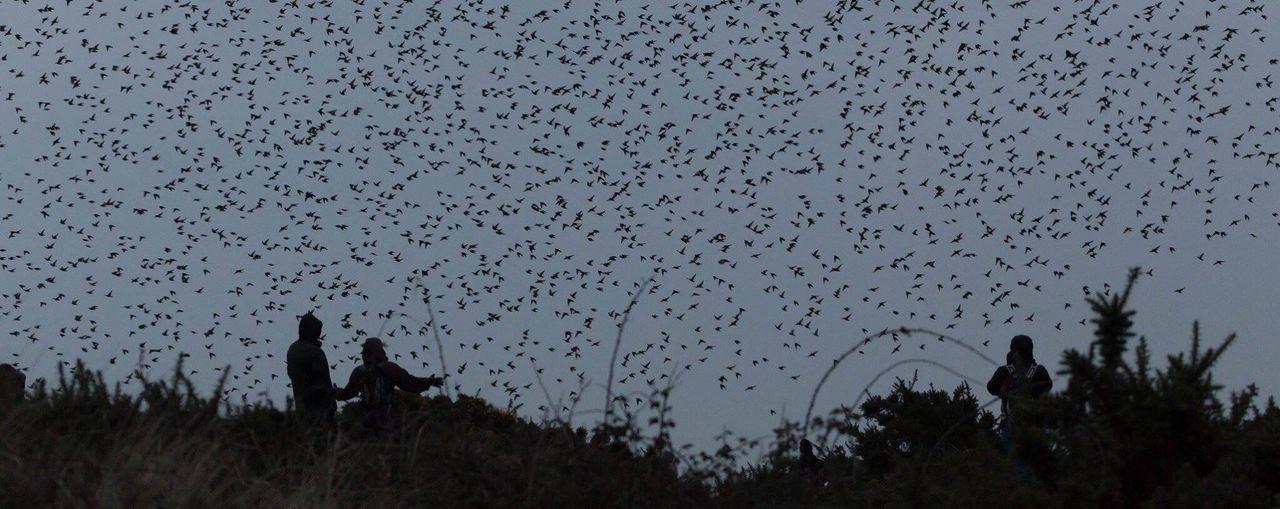Flock Of Birds Murmuration Of Starlings Murmuration