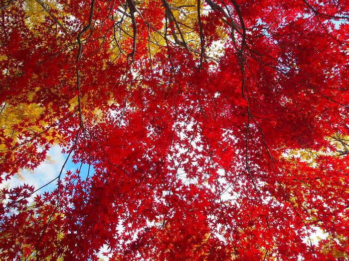 Tree Red Autumn