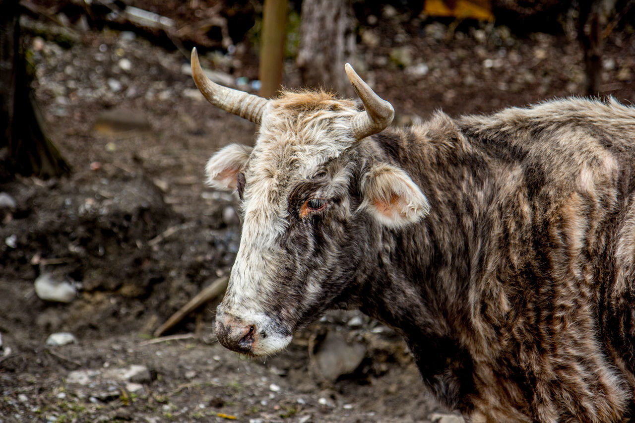 animal themes, horned, one animal, domestic animals, livestock, cattle, mammal, cow, day, no people, focus on foreground, outdoors, nature, highland cattle, close-up