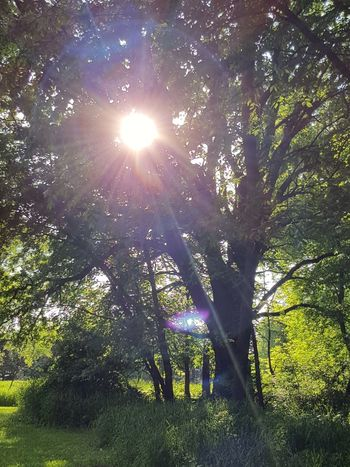 Tree Lens Flare Sunbeam Sunlight Nature Growth Outdoors Sun Low Angle View Branch Beauty In Nature Green Color Day Forest No People Sky Freshness