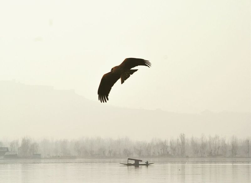 Caught in the Act [2]. Eagle Lake Shikara Boat Kashmir India Shutterlicious Flight Bird Photography Autumn Perfectlytimed
