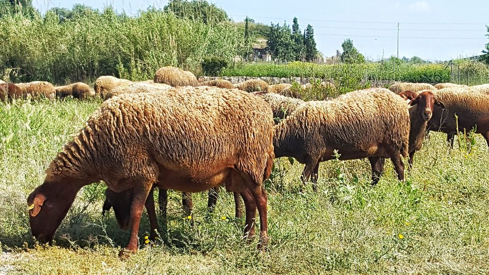 Sheep Sheep🐑 Sheeps Sheepworld Obejas Animales Animals