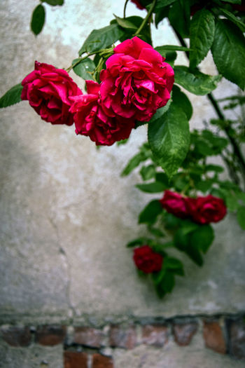 No People Outdoors Wall Brick Wall EyeEmNewHere EyeEm Nature Lover Nature Nature Photography Rose - Flower Red Flower Photography Photooftheday Poland No People Close-up