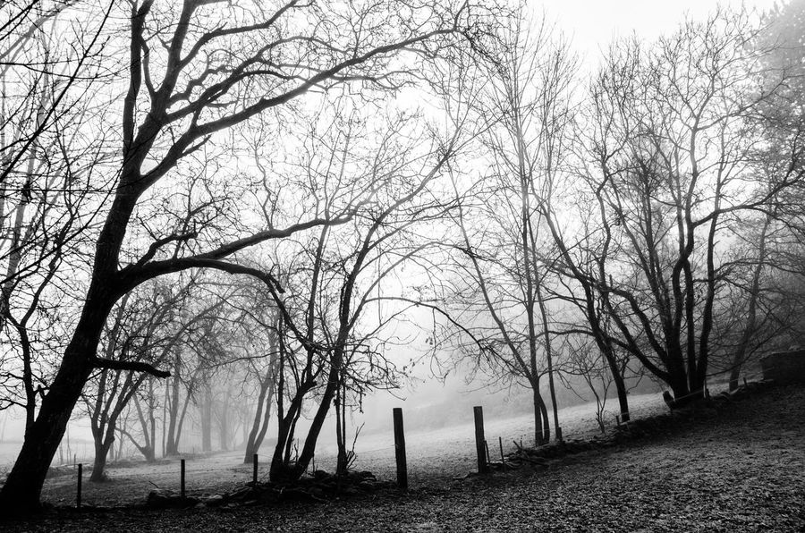 Tree Bare Tree Fog Plant Tranquility Scenics - Nature No People Nature Land Landscape Tranquil Scene Beauty In Nature Non-urban Scene Environment Trunk Outdoors Tree Trunk Winter Branch WoodLand Climate Atmospheric Forest Scenics Woods Countryside Agricultural Field Idyllic Grassland Calm