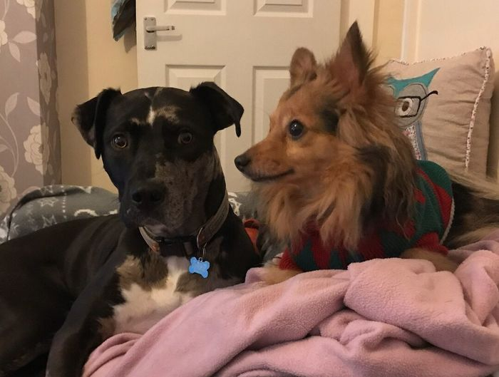Quinn & Loki: brothers Bromance HANDSOME DOGS Merle Pomgrel Black And Tan Bull Lurcher Pets Dog Domestic Animals Animal Themes