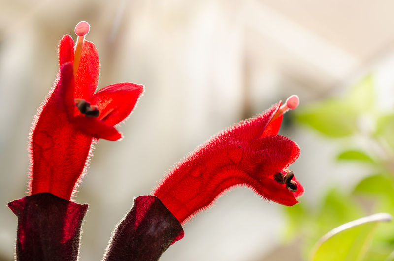 Red Lipstick Flower. Lipstick Plant (Aeschynanthus radicans jack) Aeschynanthus Angiospermae Close-up Eudicotyledonae Flower Gesneriaceae Macro Photography Nature No People Outdoors Petal Plant Radicans Red Red Lipstick Simplicity Spermatophyta