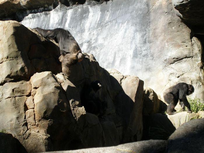 Gorillas Zoo Animal Themes