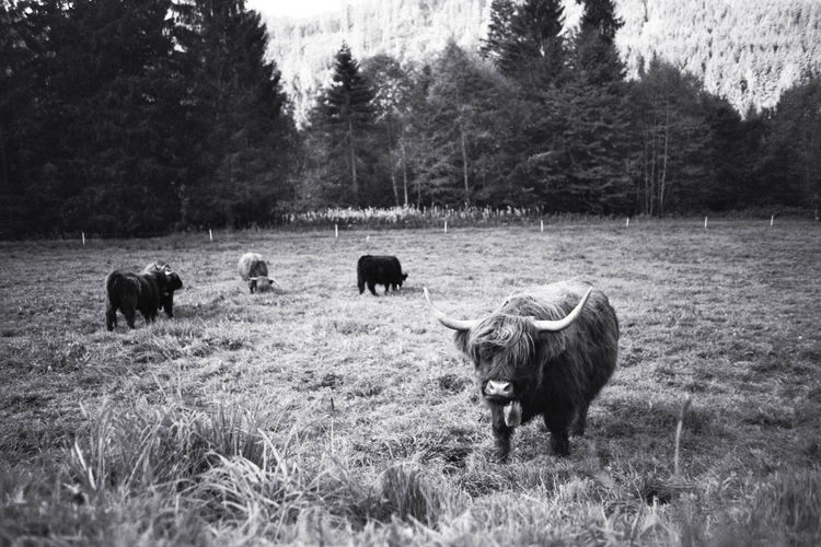 Beauty In Nature Domestic Cattle Grass Grassy Grazing Growth Highland Cow Landscape Livestock Outdoors Rural Scene Monochrome Photography